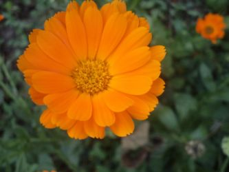 Orange Flower by Elito0o