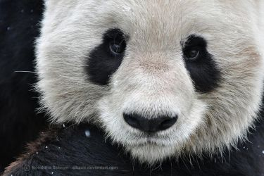 Giant Panda (006) - Thinking of you. by Sikaris
