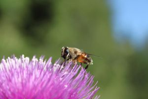 Bee on a flower by Mark-Heather