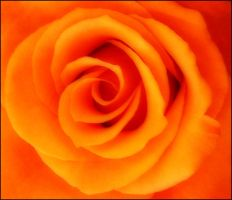 ORANGE ROSE 3 by THOM-B-FOTO