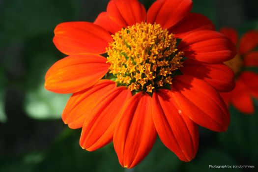 Red Orange Flower by ayamatsuken143