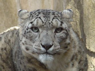 Let it snow... Leopards - 2 by Prowler7