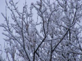 Snow covered branches by BlueIvyViolet