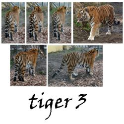 tiger 3 pack by syccas-stock
