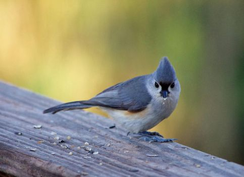 Tufted Titmouse in Spring by barcon53