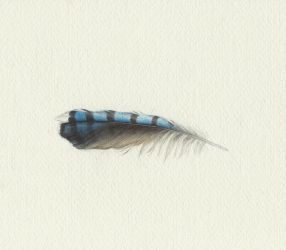 Bluejay Feather by Red-Clover