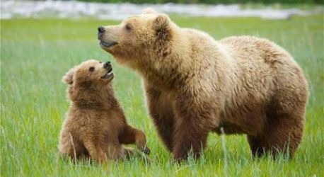 Grizzly bear and cub by vety122