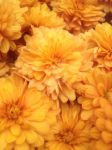 golden mums by InexplicablyIris