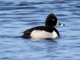 ring necked duck by Nipntuck3