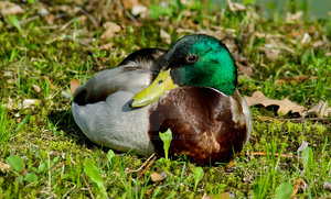 Wild Duck by rontz