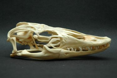 varanus salvator skull by CrossMirage