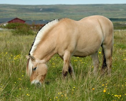 Norwegian Fjord Horse by nordfold