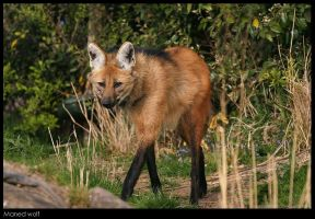 Maned Wolf by Dickie67