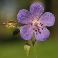 Geranium and morning dew by starykocur
