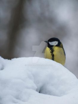 Great tit by 75ronin