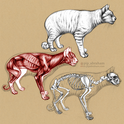Domestic Cat Anatomy by oxpecker