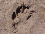 Wolf Print by MovieLover8Jurassic4