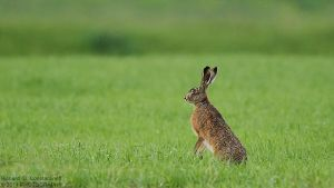Hare by RichardConstantinoff