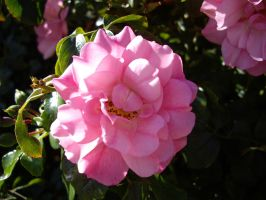 Pink Rose 4 by AsariStock