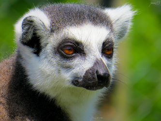 Gaze of Madagascar by tomme23