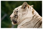 White Bengal Tiger by Sato-photography