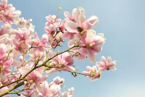 Magnolia par dessous by scubapic