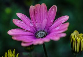 Pink Daisy Flower by photographybypixie