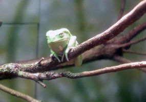 Waxy Monkey Frog 001 by Elluka-brendmer