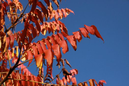 Red leafs by UdoChristmann