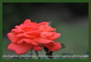a rose for Chrissie by liviugherman