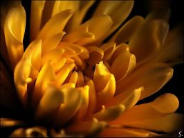 Golden chrysanthemum by grandma-S