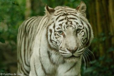 White Tiger by Tammie-Love