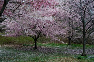 Cherry Blossoms 9 by FairieGoodMother