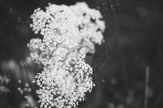 White flowers (BW) by MbOscarsson