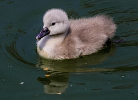 Cygnet on Patrol! (2) by Mincingyoda