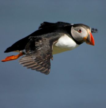 Fly Puffin fly by Yoonett