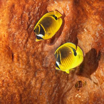 The raccoon butterflyfish by MotHaiBaPhoto