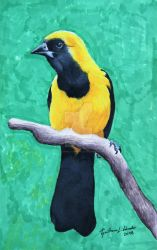 Yellow-backed oriole (Icterus chrysater)