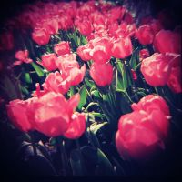 The Tulips by cherrymeichan