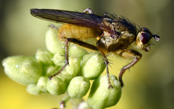 3113 Yellow dung fly by RealMantis