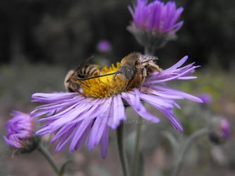 Bees on an Aster Flower by Arhythmia