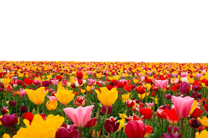 Tulip Flower PNG File- Use anywhere by TheArtist100