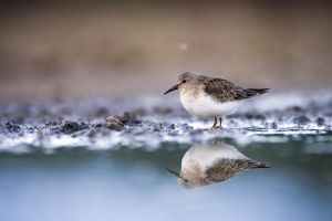 Temminck's Stint by sampok