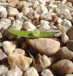 Leaf Growth Pebbles 2 by LaconicMuse