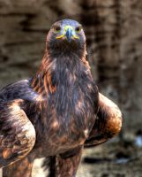 Eagle by s-kmp