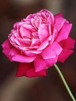 A Rose By Any Other Name by flowerhippie22