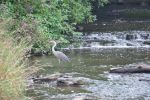 Heron with Cascades - 2013 by insanity-pillz