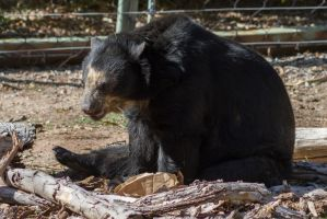 Andean Bear 1 by CastleGraphics