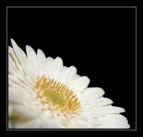 White Gerbera.... by Pjharps