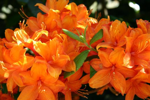 Rhododendron orange by Pandate